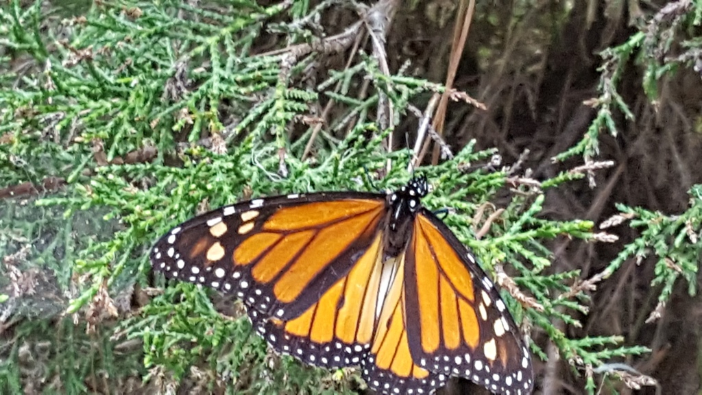 Close-up of butterfly on the Monarch Grove Sanctuary pathway.